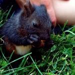 Aufgezogenes Eichhörnchen